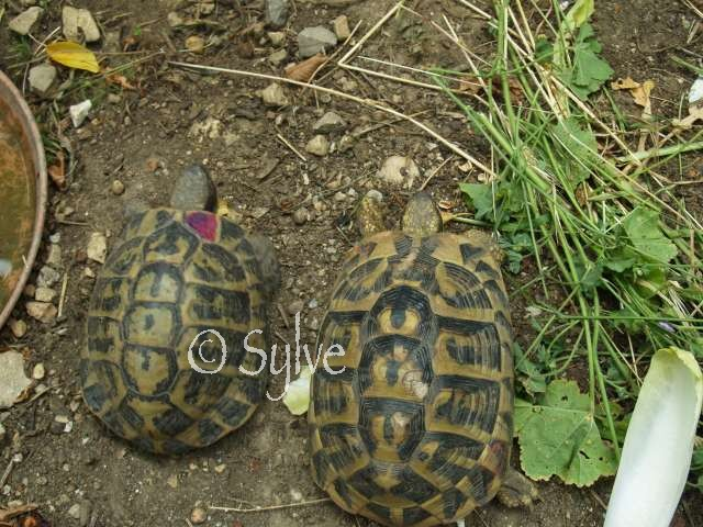 La tortue d'Hermann occidentale (Eurotestudo hermanni) Couple10