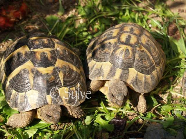 La tortue d'Hermann occidentale (Eurotestudo hermanni) Couple11