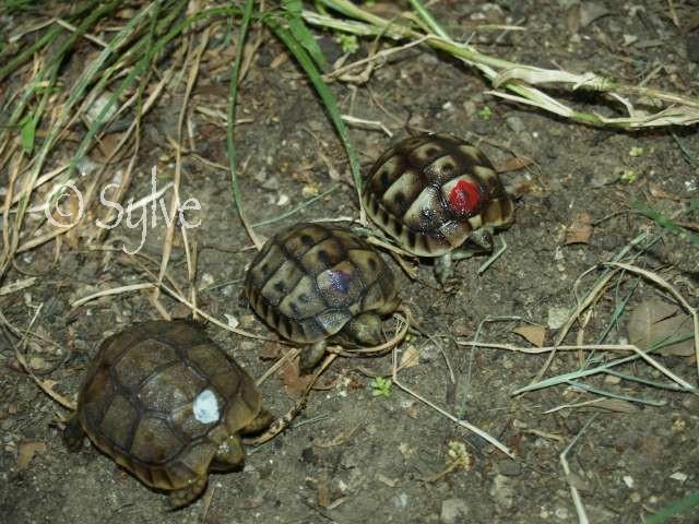 La tortue mauresque (Testudo graeca) Image010
