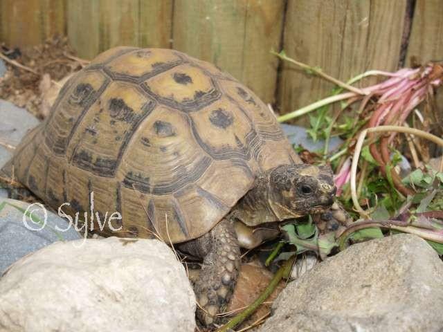 La tortue mauresque (Testudo graeca) P3319511
