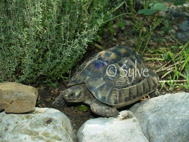 La tortue mauresque (Testudo graeca) P5299911