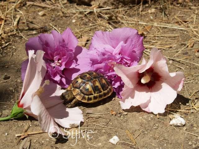 La tortue mauresque (Testudo graeca) P6280311