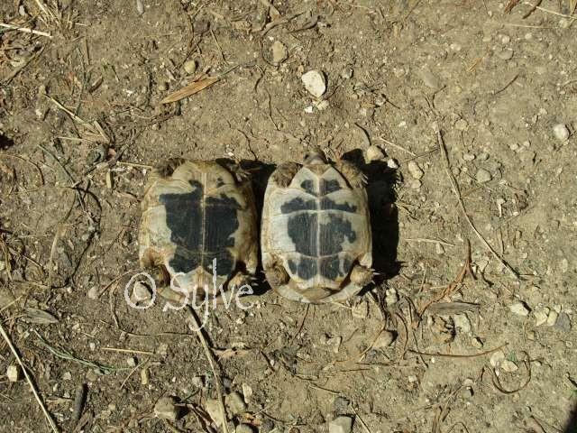 La tortue mauresque (Testudo graeca) P8140911