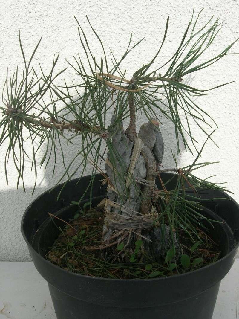 pin sylvestre sur roche Dscn3735