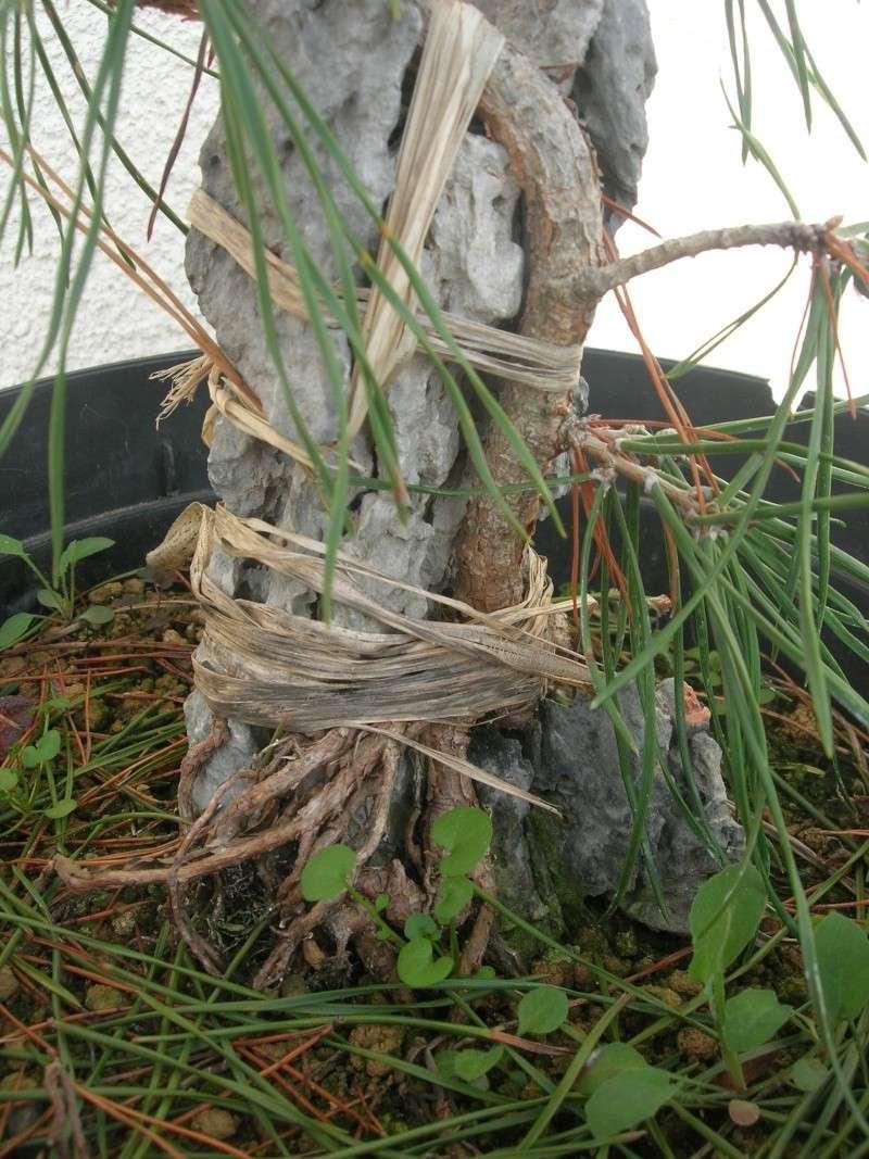pin sylvestre sur roche Dscn3736