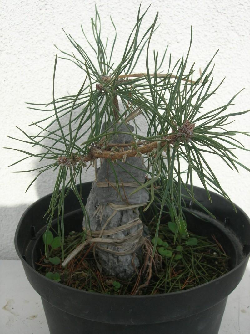 pin sylvestre sur roche Dscn3737