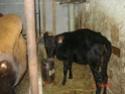 Vaches Canadiennes - Page 2 Dsc02710