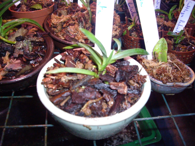 Neofinetia Falcata & Habenaria Radiata Imgp2315