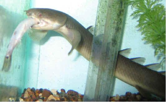 polypterus senegalus bac mini Senega10