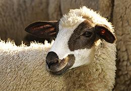 quel est ce mouton? - Page 3 Bou12