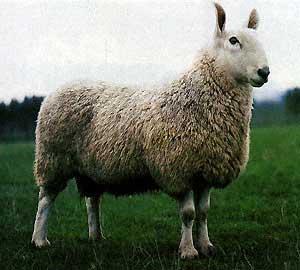 quel est ce mouton? - Page 2 Brebio10