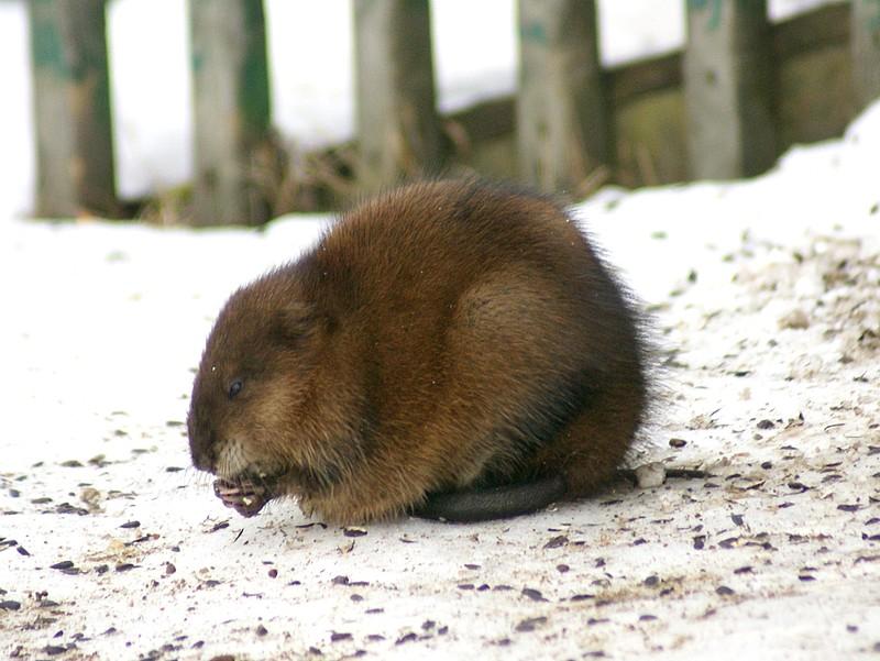 Rat musqué (Ondatra zibethicus) Rat-mu10