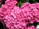 hortensia en pot? 22_jui10