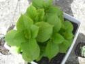 hortensia en pot? Dscn4919