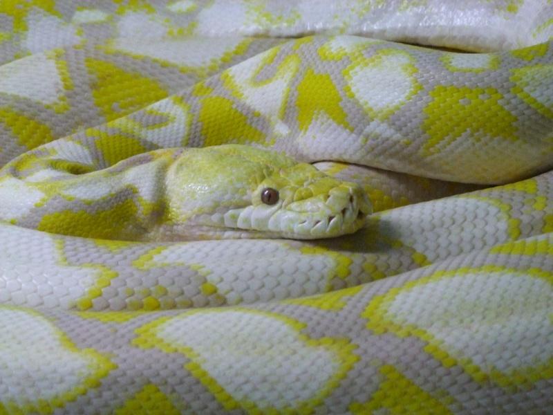 B reticulatus albino/lavender 00328
