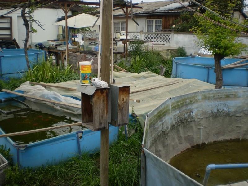 Criadero de Ciclidos Africanos de Atilio en Peñaflor Pa060037