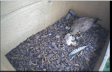 Printemps, webcams dans les nids... Image125