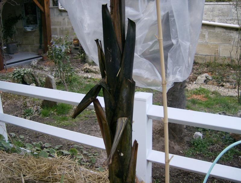 Ensete ventricosa maurelli - bananier rouge Hpim0313