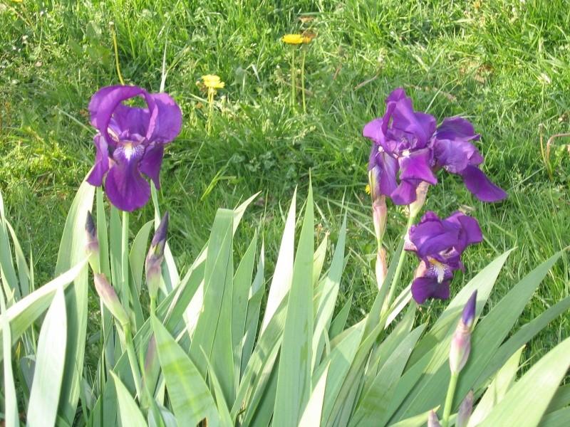 les fleurs  qui me restent et qui ont resister a Jocker Fleurs11