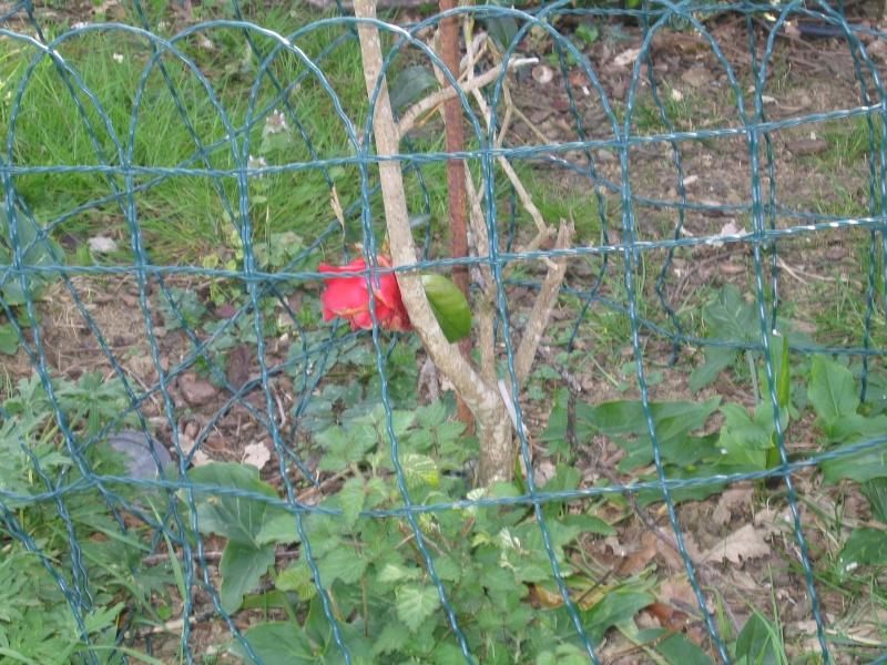 les fleurs  qui me restent et qui ont resister a Jocker Fleurs15