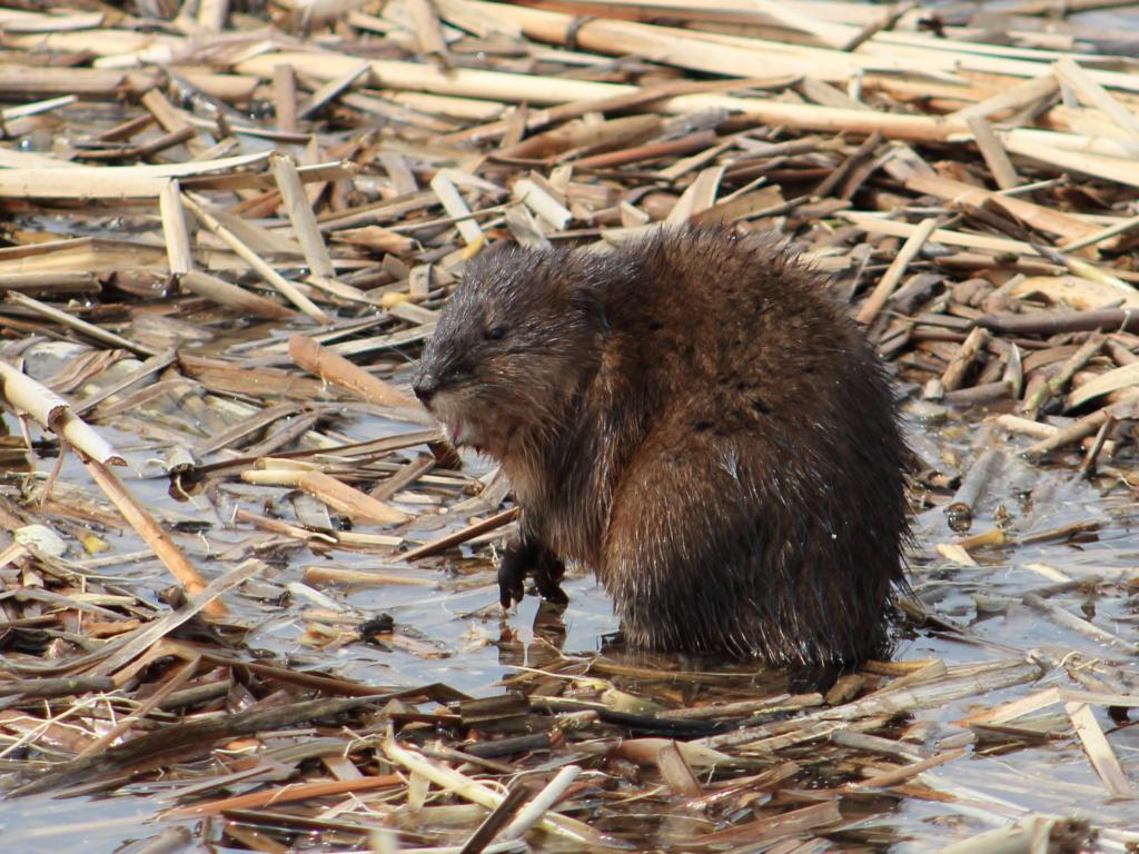 un autre rat musqué Rat_mu10
