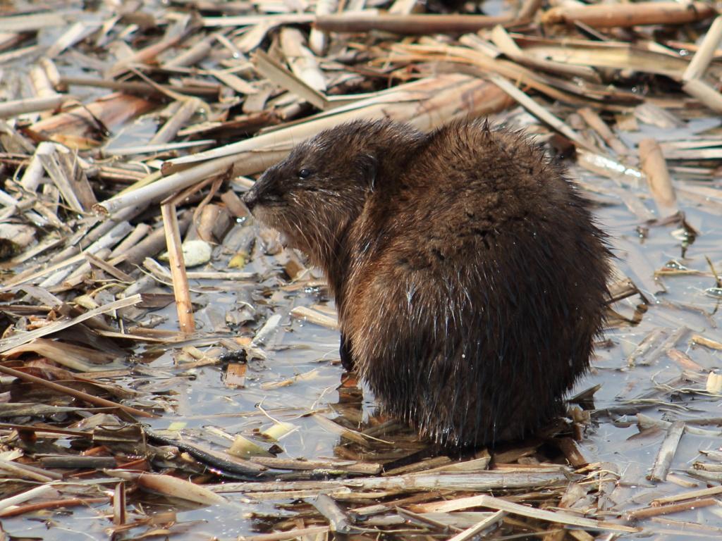 un autre rat musqué Rat_mu11