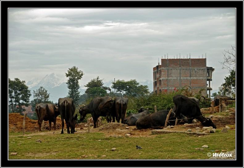 Népal - Novembre 2010 Yd1_0527