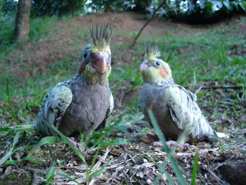 Oiseaux de Martinique 2_mars10