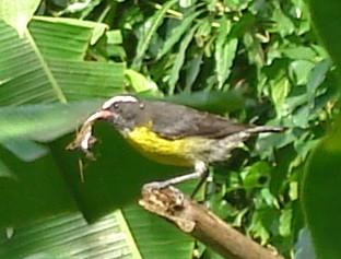 Oiseaux de Martinique Dsc03810