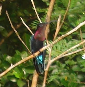 Oiseaux de Martinique Dsc04710
