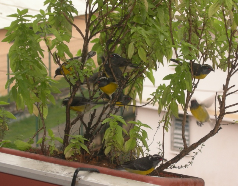 Oiseaux de Martinique Photo_11