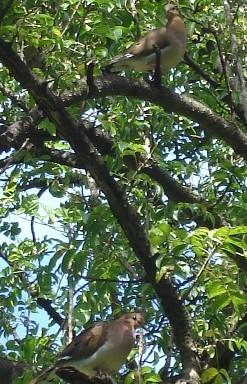 Oiseaux de Martinique Tourte10