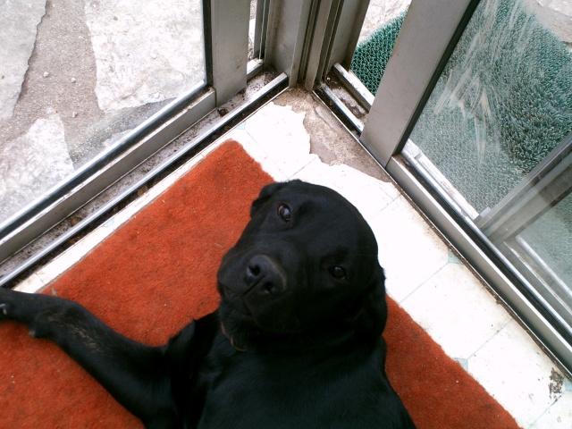 Shaina, croisée cane corso/labrador, 9 mois Pict0611