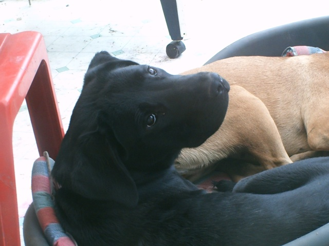 Shaina, croisée cane corso/labrador, 9 mois Shaina10