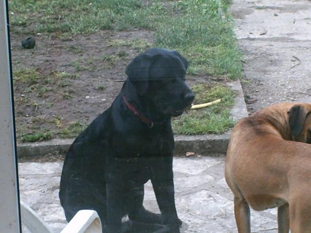 Shaina, croisée cane corso/labrador, 9 mois Shaina11