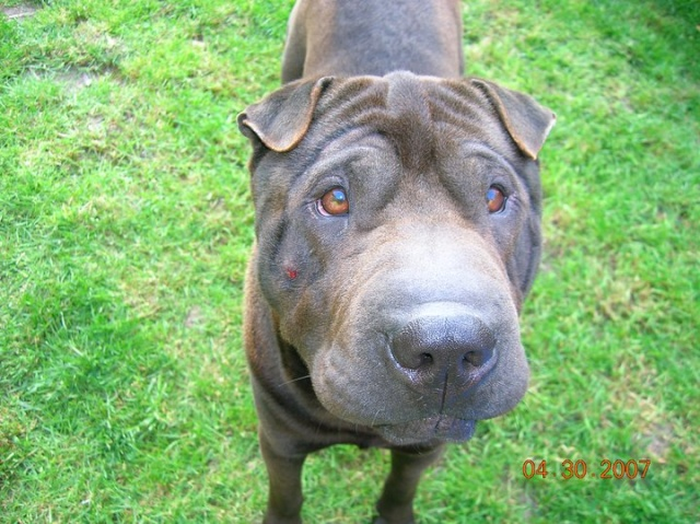 perdu chien de race sharpei (91) 74223_10