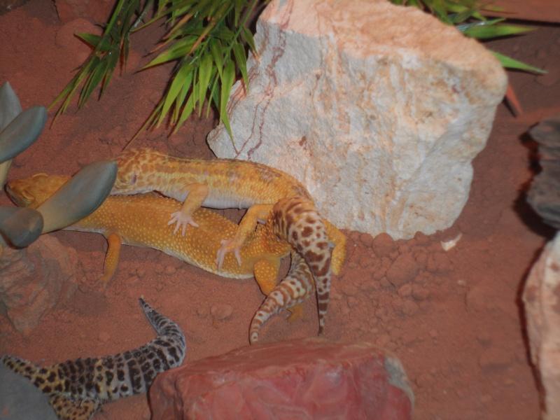 PLZ 68 Verkauf Leopardgecko (Albino/Männchen) Sam_1210