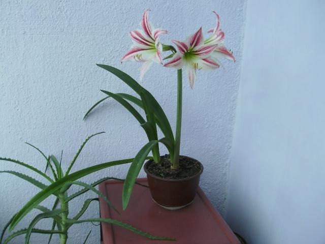 Покажете цветята във  вашата градинка... Imgp0560
