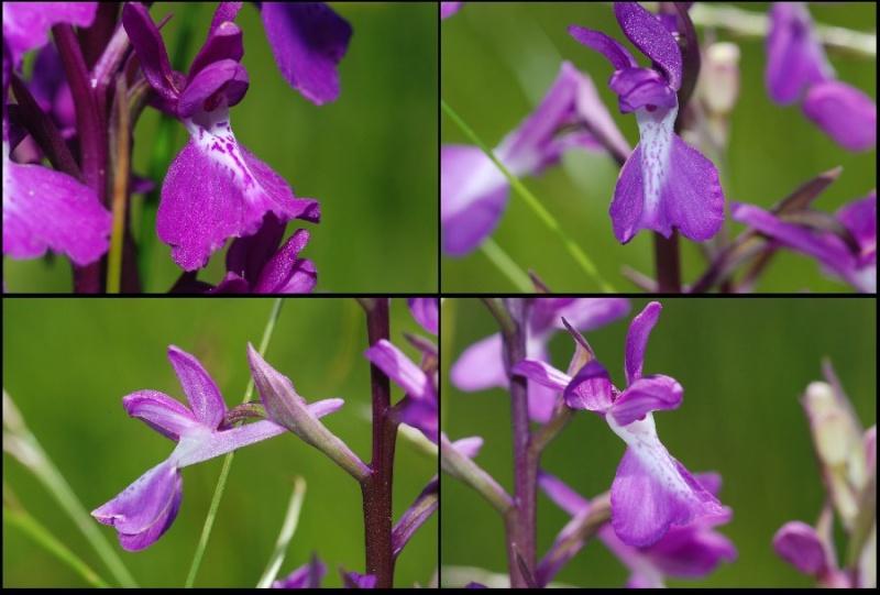 Anacamptis palustris ( Orchis des marais ) Apalus11