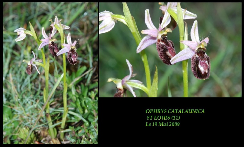 Ophrys bertolonii catalaunica (Ophrys de Catalogne ) Ocatal11