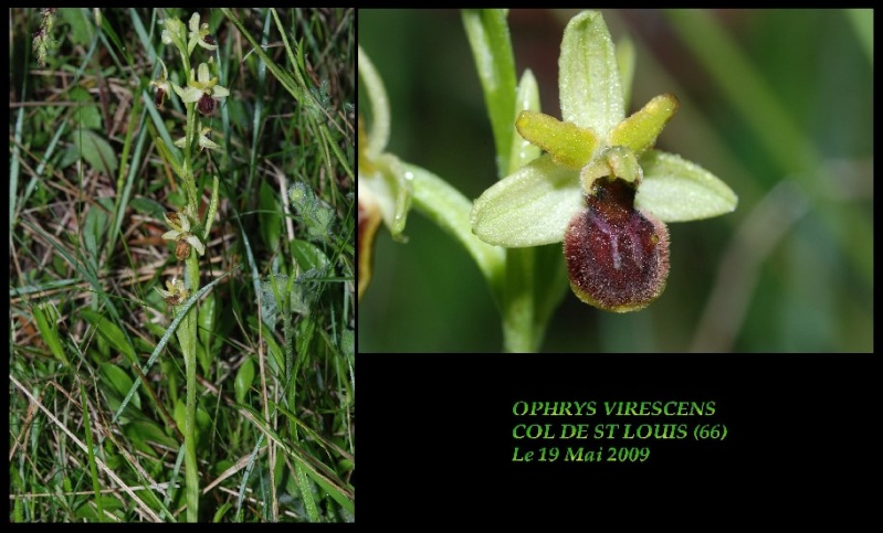 Ophrys virescens ( Ophrys verdissant ) Ovires10