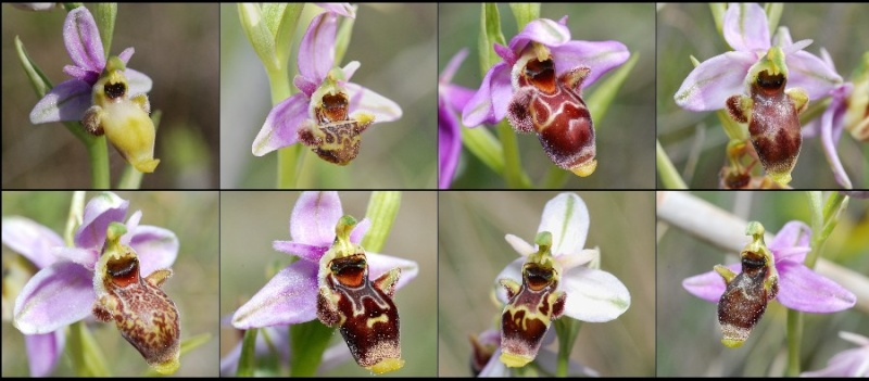 Ophrys scolopax ( Ophrys bécasse ) Scolop11
