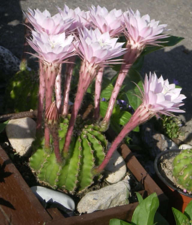 Cactus en fleurs Imgp9115
