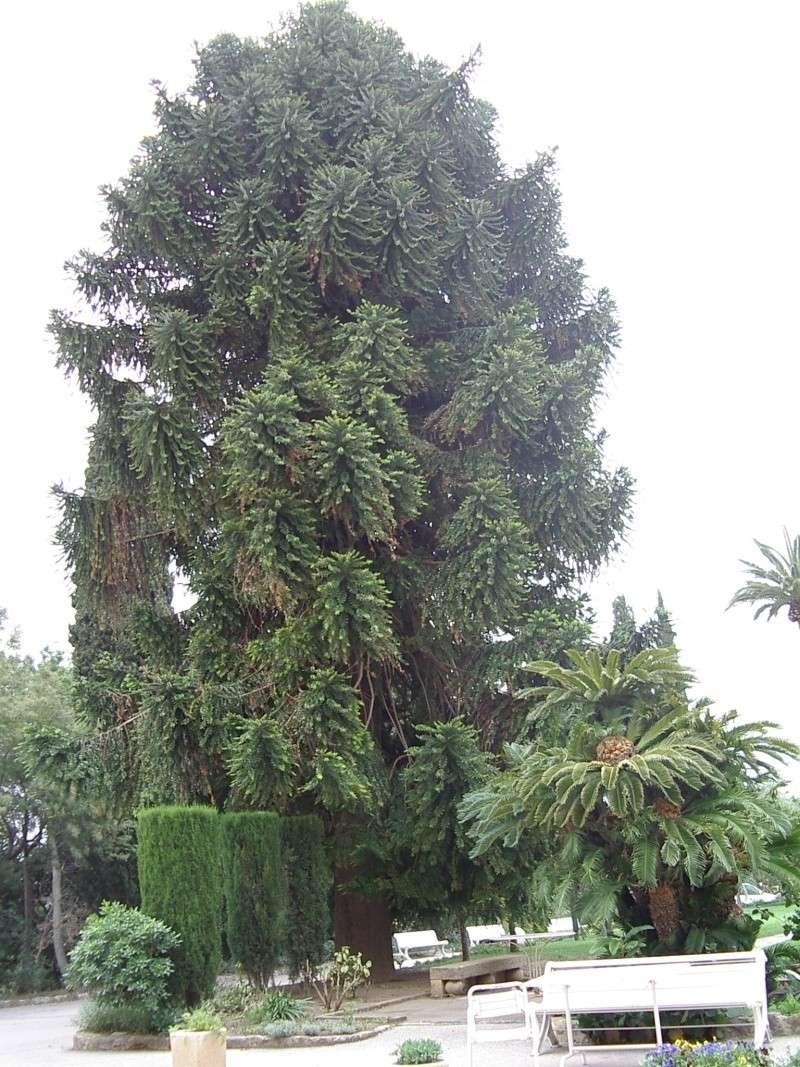 Conifère exotique (Araucaria heterophylla). Arauca10