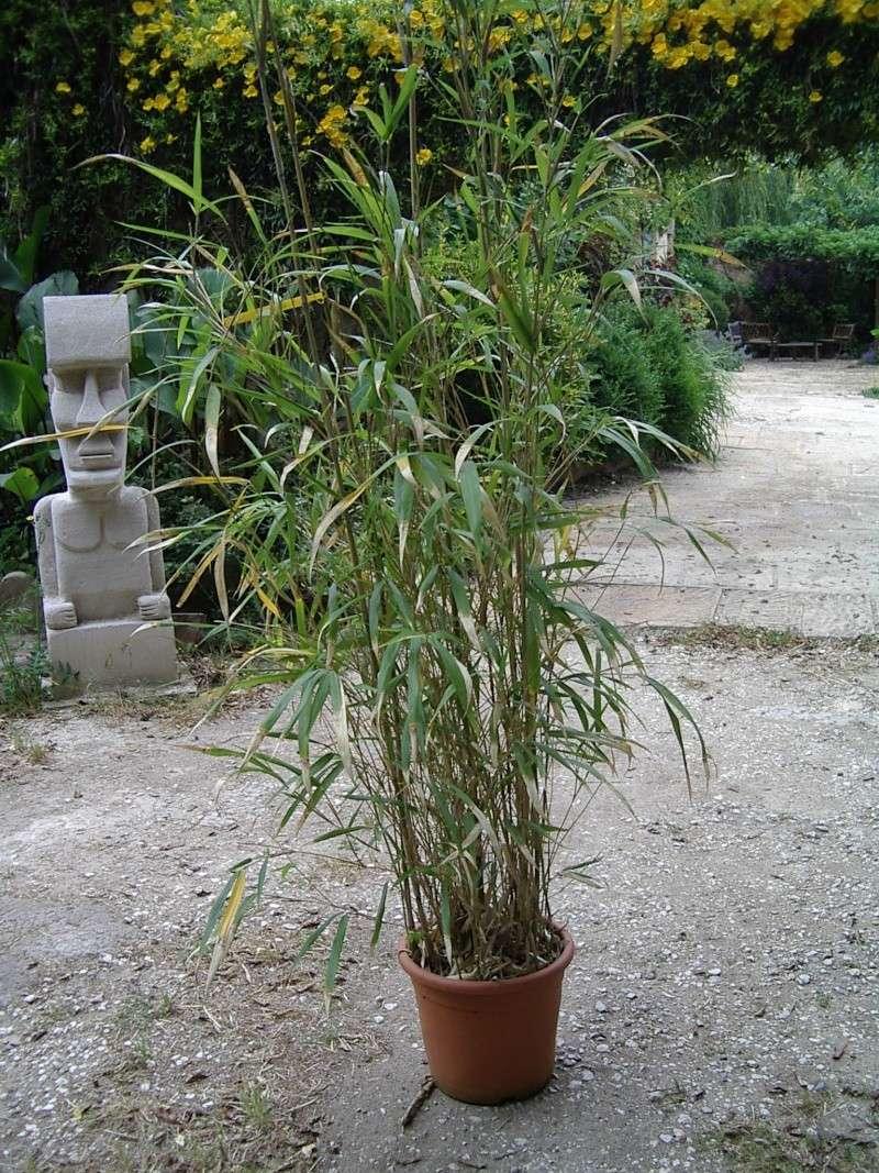 Bambou X Bambou10