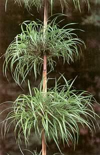 bambou à identifier (Nastus borbonicus). Bambu210