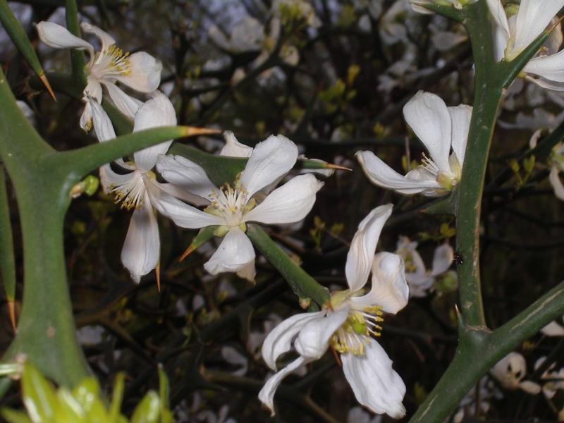 poncirus trifoliata Lion_513