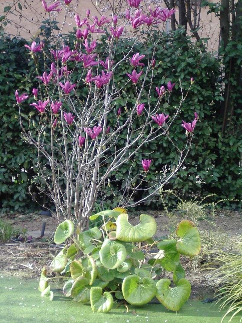 Les Magnolias Magnol11