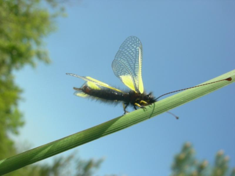 [Divers insectes] Echantillon Dscn6211