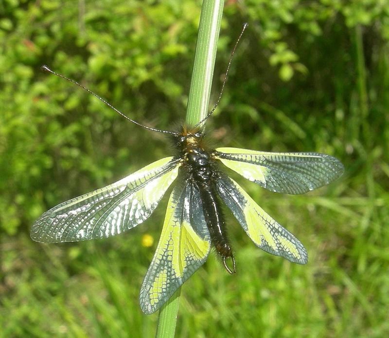 [Divers insectes] Echantillon Dscn6215